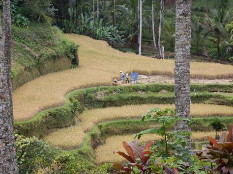 View of first rice paddy