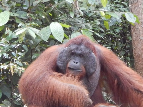 Alpha male orang utan from 5 metres!