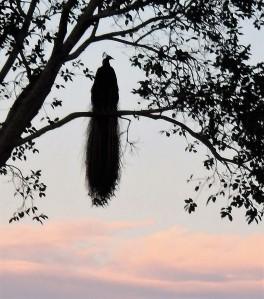 Peacock at dawn!